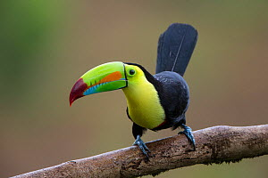 Keel-billed Toucan (Ramphastos sulfuratus) portrait, Northern Costa Rica, Central America  -  Suzi Eszterhas