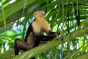 White-faced Capuchin (Cebus capucinus imitator) chewing on grass, with face covered in pollen from flower, Osa Peninsula, Costa Rica - Suzi Eszterhas