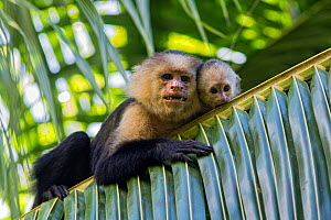 White-faced Capuchin (Cebus capucinus imitator) mother and baby. Osa Peninsula, Costa Rica - Suzi Eszterhas