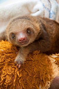 Hoffmann's Two-toed Sloth (Choloepus hoffmanni) orphaned baby, with cuddly toys, part of rehabilitation program at Aviarios Sloth Sanctuary, Costa Rica. - Suzi Eszterhas