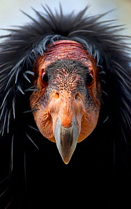 California condor (Gymnogyps californianus), IUCN Critically Endangered, captive. - Claudio Contreras Koob,Claudio Contreras Koob
