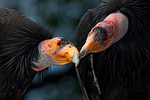 California condors (Gymnnogyps californicus) interacting. Captive. Endangered species. - Claudio  Contreras