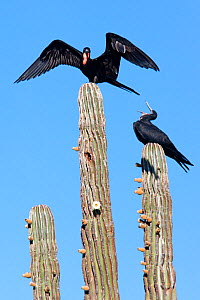 Magnificent frigatebird (Fregata magnificens) on top of cardon cactus (Pachycereus pringlei), El Requeson beach, Bahia Concepcion, Sea of Cortez (Gulf of California), Mexico, April  -  Claudio Contreras