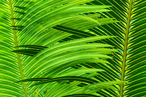 Rain spattered inter-locking palm leaves create a design of pattern and colour in the tropical rainforest. Osa Peninsula, Costa Rica - Jack Dykinga