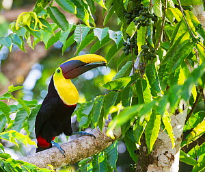 Chestnut mandibled toucan (Ramphastos ambiguus swainsonii) in tropical rainforest canopy with beech almond fruit. Osa Peninsula, Costa Rica  -  Jack  Dykinga