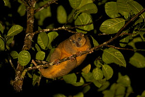 Ornate Cuscus (Phalanger ornatus) in the rainforest outside Labilabi, Halmahera, Indonesia. Endemic to North Moluccas (Halmahera, Morotai, and Batjan Islands) Indonesia.  This species was discovered b... - Tim Laman