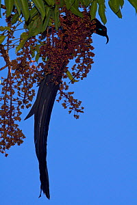 Black Sicklebill Bird of Paradise (Epimachus fastuosus) male feeding on fruits of Shefflera tree. New Guinea - Tim Laman