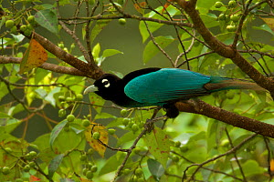 Blue Bird of Paradise (Paradisaea rudolphi) male, Papua New Guinea  -  Tim Laman