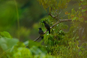 Paradise Crows (Lycocorax pyrrhopterus) perch in a tree in a rainforest clearing on Halmahera, Maluku Islands, Indonesia - Tim Laman