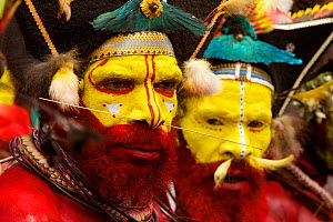 Huli 'singsing' dance ceremony. Huli wigmen wearing human hair wigs and feathers of various birds of paradise and other bird species. Tari Valley, Southern Highlands Province, Papua New Guinea.  Novem...  -  Tim Laman