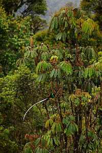 Ribbon-tailed Astrapia (Astrapia mayeri) adult male feeding at a fruiting Schefflera tree in the montane rainforest near Tomba Pass, Papua New Guinea. - Tim Laman