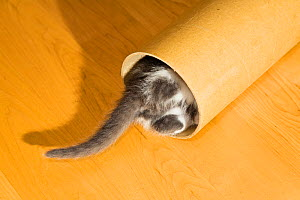 Kitten playing with cardboard roll, with only tail visible. Germany - Konrad  Wothe