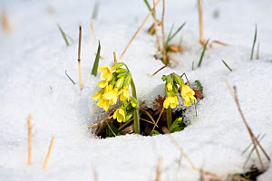 Oxlips (Primula elatior) in flower in the snow,Germany - Konrad  Wothe