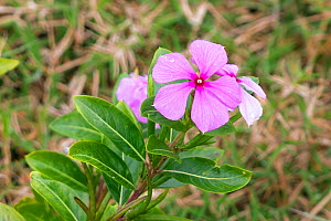 Madagascar Periwinkle (Catharanthus roseus) from the rainforest which is used for traditional medicines, Madagascar, Africa - Konrad  Wothe