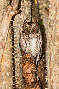 Madagascar Scops-owl (Otus rutilus) perched in thorny tree, in the Thorny forest, Berenty reserve, South Madagascar, Africa  -  Konrad  Wothe