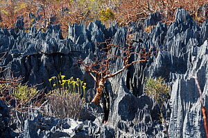 Rock formation with vegetaition in the Tsingy-de-Bemaraha National Park, Mahajanga, Madagascar, Africa  -  Konrad  Wothe