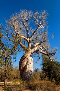 Baobabs (Adansonia rubrostipa) growing inter-twined with each other, near Morondava, Madagascar  -  Konrad  Wothe