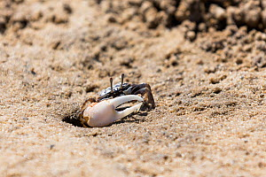 Fiddler Crab (Uca) male on beach signalling with claw , Morondava, West Madagascar, Africa  -  Konrad  Wothe