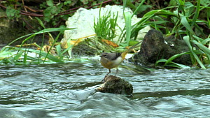 Grey wagtail (Motacilla cinerea) catching insects, River Stour, Dorest, England, UK, October.  -  Mick Jenner