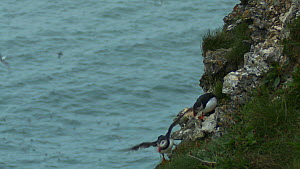 Pair of Atlantic puffins (Fratercula arctica) on cliff face, with one taking flight, Bempton Cliffs RSBP Reserve, Yorkshire, England, UK, June.  -  Mick Jenner