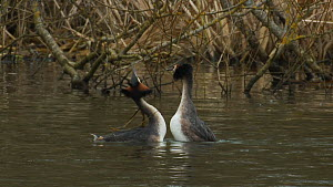 Pair of Great crested grebes (Podiceps cristatus) courting, West Sussex, England, UK, March.  -  Mick Jenner