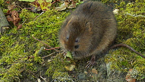 European Water vole (Arvicola amphibius) eating a leaf on a stream bank, West Sussex, England, UK, May.  -  Mick Jenner