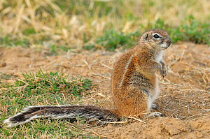 South African Ground Squirrel (Geosciurus inauris) Mountain Zebra National Park, South Africa  -  Dave Watts