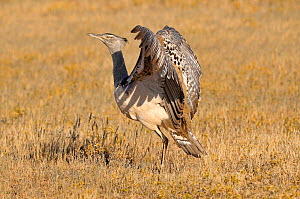 Kori Bustard (Ardeotis kori) displaying, South Africa  -  Dave Watts