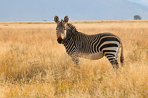 Mountain Zebra (Equus zebra) portrait. Mountain Zebra National Park, South Africa  -  Dave Watts