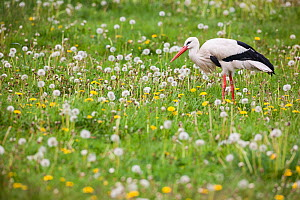 White stork (Ciconia ciconia) captive, adult foraging in spring meadow, Vogelpark Marlow, Germany, May. - Florian Möllers
