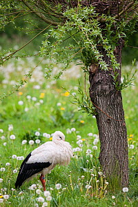 White stork (Ciconia ciconia) captive, adult resting under willow tree, Vogelpark Marlow, Germany, May.  -  Florian Möllers