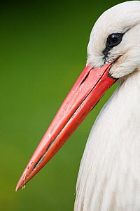 White stork (Ciconia ciconia) adult portrait, captive, Vogelpark Marlow, Germany, May.  -  Florian Möllers