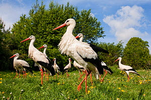 White stork (Ciconia ciconia) captive, group of adults waiting to be fed in spring meadow,  Vogelpark Marlow, Germany, May. - Florian Möllers