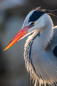 Grey heron (Ardea cinerea) adult in breeding plumage, close-up of head and colourful orange beak, backlit, Berlin Zoological Garden, Berlin Zoo, Germany. February.  -  Florian Möllers