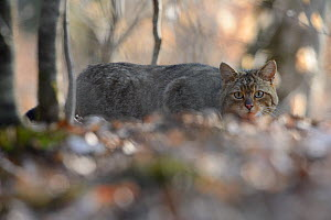 Wildcat (Felis silvestris) crouched low in woodland, Vosges, France, April - Fabrice CAHEZ