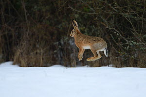 Hare, (Lepus europaeus) jumping in snowy field, Vosges, France, February  -  Fabrice CAHEZ,Fabrice CAHEZ