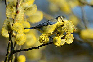 Blue tit, (Parus caeruleus), searching for insects in Willow (Salix) catkins, Vosges, France, April  -  Fabrice Cahez