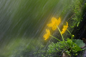 Small waterfall in spring with Kingcup (Caltha palustris) Vosges mountains, France, May  -  Fabrice Cahez