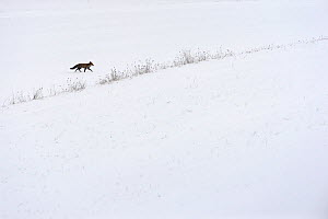 Red fox (Vulpes vulpes) in the snow, Vosges, France, February - Fabrice CAHEZ,Fabrice CAHEZ