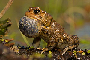 American toad (Anaxyrus americanus) male with vocal sac inflated whilst calling to attract females, New York, May - John Cancalosi