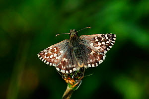 Grizzled skipper butterfly (Pyrgus malvae) at rest. Lankham Bottom nature reserve, Dorset, UK May - Colin Varndell