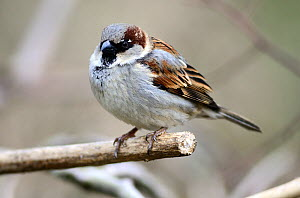 Adult male House Sparrow (Passer domesticus) Dorset, UK March  -  Colin Varndell