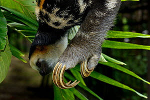 Pale-throated sloth / A� (Bradypus tridactylus) climbing along branch - close up of claws, French Guiana. - Daniel  Heuclin