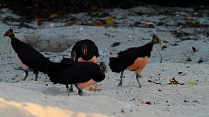 Flock of Maleo fowl (Macrocephalon maleo) running and chasing each other on a beach, Tompotika Peninsula, Sulawesi, Indonesia. - Sandesh  Kadur