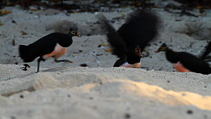 Flock of Maleo fowl (Macrocephalon maleo) running, chasing each other and fighting on a beach, Tompotika Peninsula, Sulawesi, Indonesia.  -  Sandesh  Kadur
