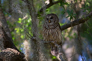 Southern Barred Owl (Strix varia georgica) perched on a snag in late afternoon, Myakka City, Florida, USA - Lynn M Stone