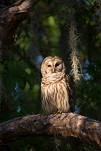 Southern Barred Owl (Strix varia georgica) perched on a pine branch in late afternoon, Myakka City, Florida, USA. Non-exclusive - Lynn M Stone
