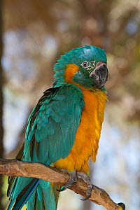 Blue-Throated Macaw (Ara glaucogularis) captive, preening. Endemic to small area of north central Bolivia. Critically endangered  -  Lynn M Stone