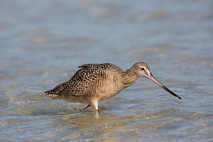Marbled Godwit (Limosa fedoa) with marine invertebrate prey, in shallow tidal water, Pinellas County, Florida, USA  -  Lynn M Stone