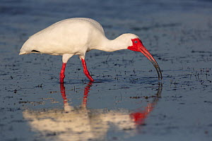 White Ibis (Eudocimus albus) in breeding plumage with bright red skin, with fiddler crab at low tide, Pinellas County, Florida, USA  -  Lynn M Stone